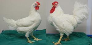 coq+poule-salmonelles